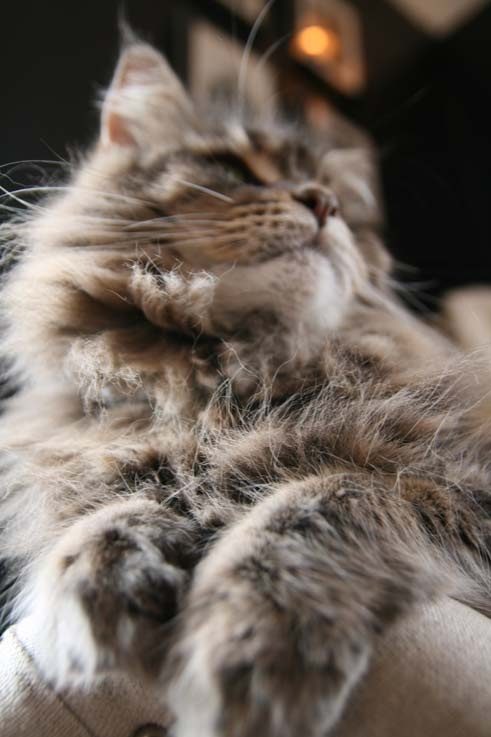 Maine Coon - LOVE this breed!