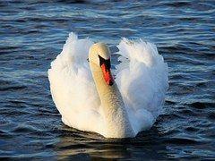 Swan, Lintu, Eläinten, Vesi, Järvi