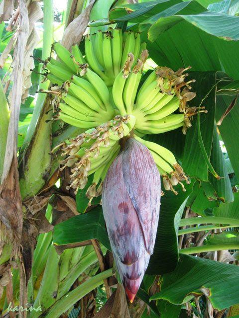 """Так """"рождаются"""" бананы. Под каждым следующим лепестком цветка - ряд маленьких бананчиков. (в Шри-Ланке)"""