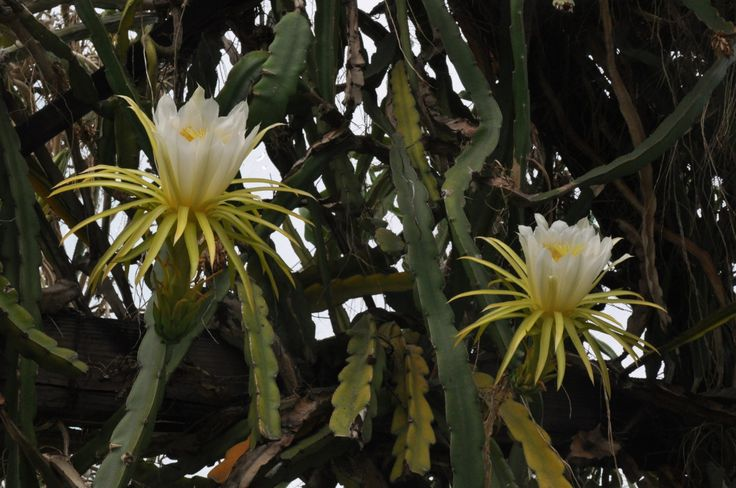Hylocereus undatus is a large aggressive climber which requires plenty of space. Its spectacular huge white flowers open at night, but remain open all morning the next day. It is commonly known as Night-Blooming Cereus. -Brian