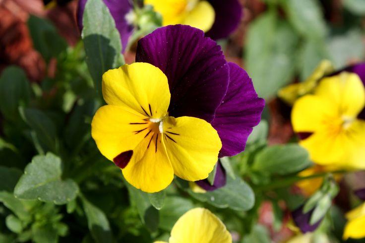 viola flower.jpg