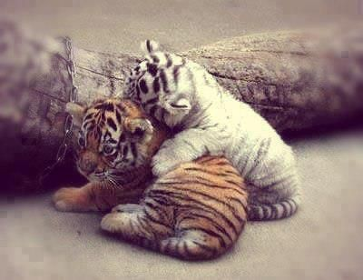 Siberian tiger cub and Bengal tiger cub snuggling.