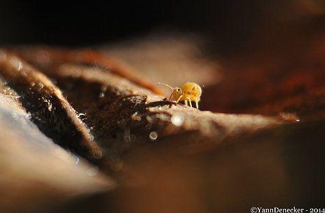 Collembole Yannick Denecker Photographie Nature