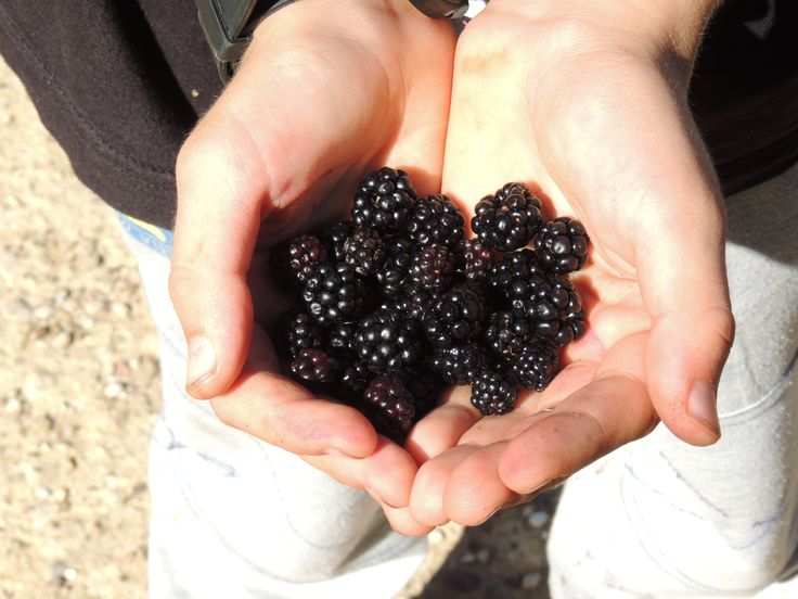 Wild blackberries picked up by my son
