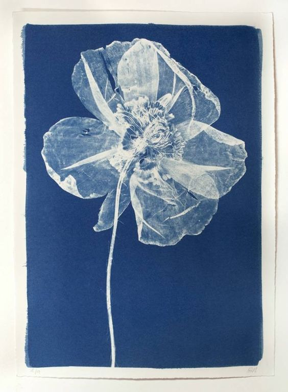 Cyanotype Poppy No known attribution, old print.