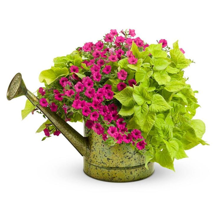 Sweet Potato Vine and Petunias in an old watering can