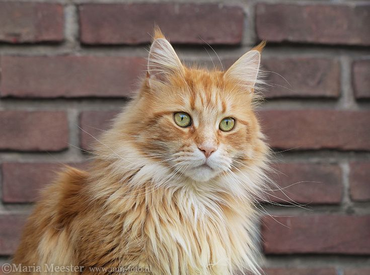 Rode Maine Coon