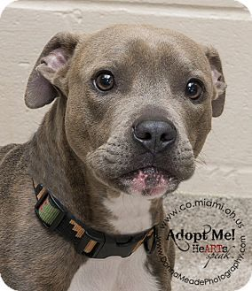 URGENT!  I am at a kill shelter in Troy, OH - Pit Bull Terrier. Meet Amos a Dog for Adoption.