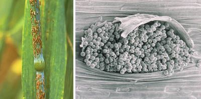 uredinium (also uredium; pl. uredinia): fruiting body (sorus) of rust fungi that produces urediniospores (left: uredinia of Puccinia graminia f. sp. tritici; right: SEM of single uredinium of Puccinia recondita)