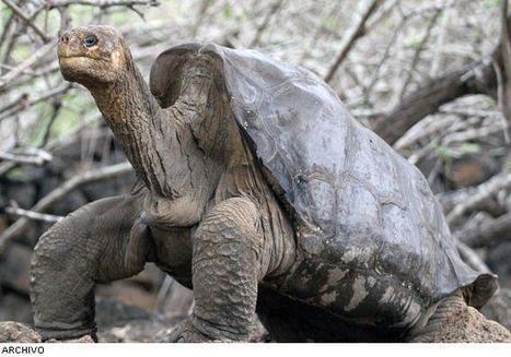 Murió el Solitario George y con él se terminó una especie de tortuga gigante de los galápagos, de la especie de la isla Pinta (Chelonoidis abingdoni)