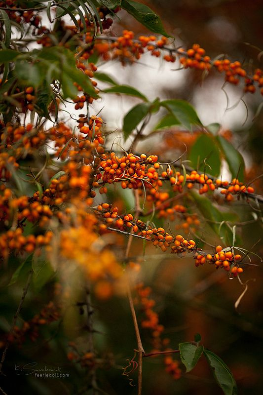 sea-buckthorn id a powerhouse - it even contains omega 7...yep that is not a type o - omegas 3s,6s,7s and 9s are needed by the body, this is an excellent source of Omeda 7 - this is used in treating everything from skin problems to breathing  disorders. it is also a MAJOR antioxidant. New studies recently have proven even  more superior qualities!