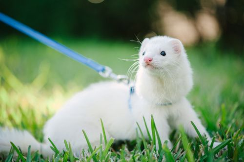 Important Tips for Caring for Ferrets, idk I kinda still want cats, but maybe with them, if I find a ferret in a shelter.
