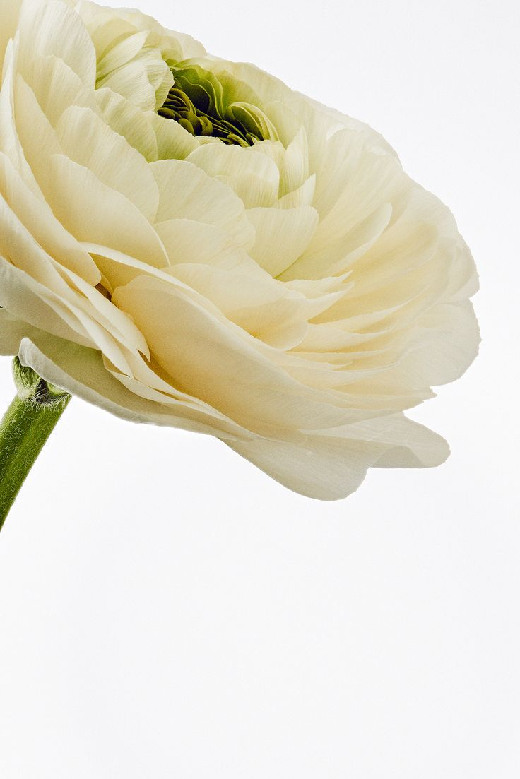 White ranunculus in the studio