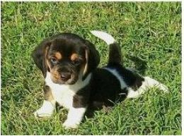 miniature beagle!