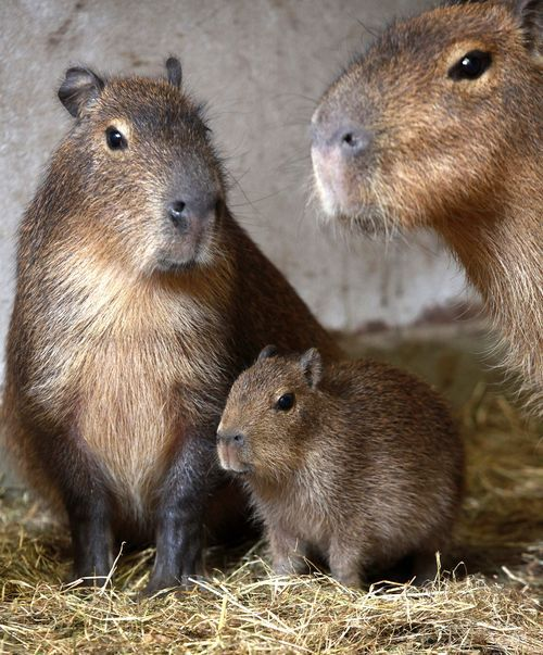 #Capybara family. Capybara's are from South America and are the world's largest rodents, growing up to 4.5 feet long and 140 pounds. They are semi-aquatic, with webbed feet and nostrils, eyes, and ears located towards the top of their heads. Photo credit: Belfast Zoo