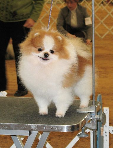 Pomeranian    Like, repin, share! :)