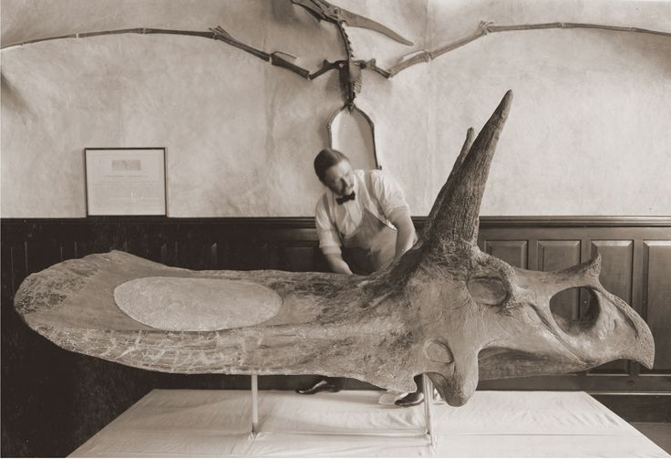 Torosaurus skull being prepared at Yale, late 19th century probably. HD