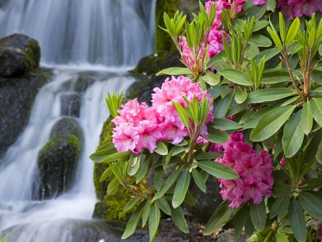 Rhododendrons Et Azalees Conseils Pour Bien Entretenir
