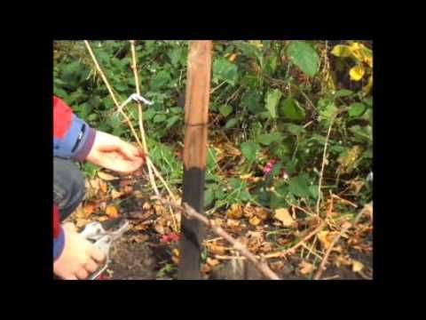 Обрезка винограда осенью. Проще простого.