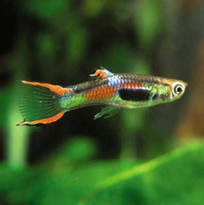 Fresh water aquarium endler 39 s livebearer 4 our first Livebearer aquarium fish