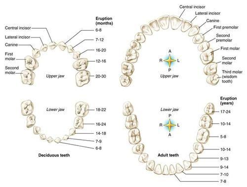 Best 23 Dental Anatomy Images On Pinterest Dental Health Oral