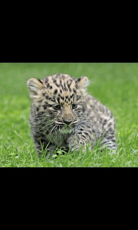 Questo cucciolo di leopardo è uno dei pochi membri di una tribù ke nn è molto grande