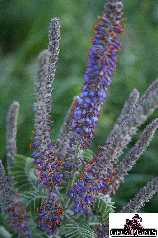 53 best images about amorpha on pinterest