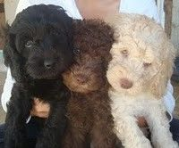 Labradoodle puppies - and here is why it is called a wish list. Only if I get someone to help take care of it. I work too much!