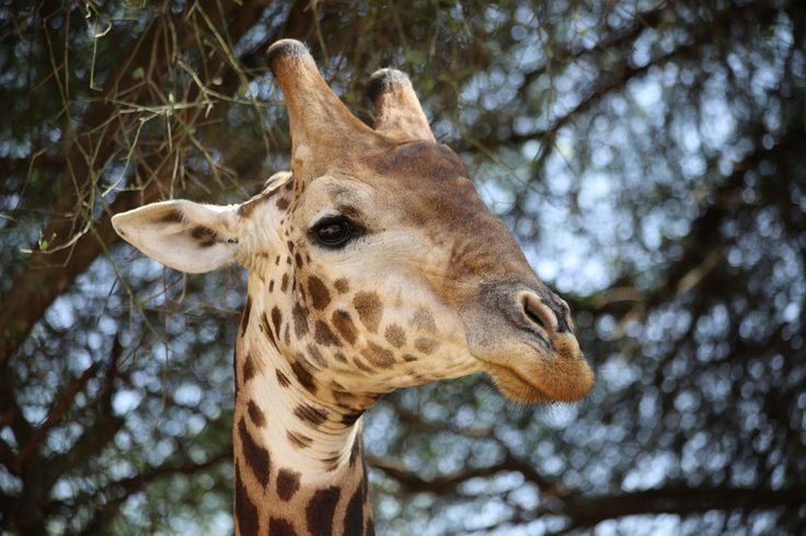 Giraffe - Réserve de Bandia