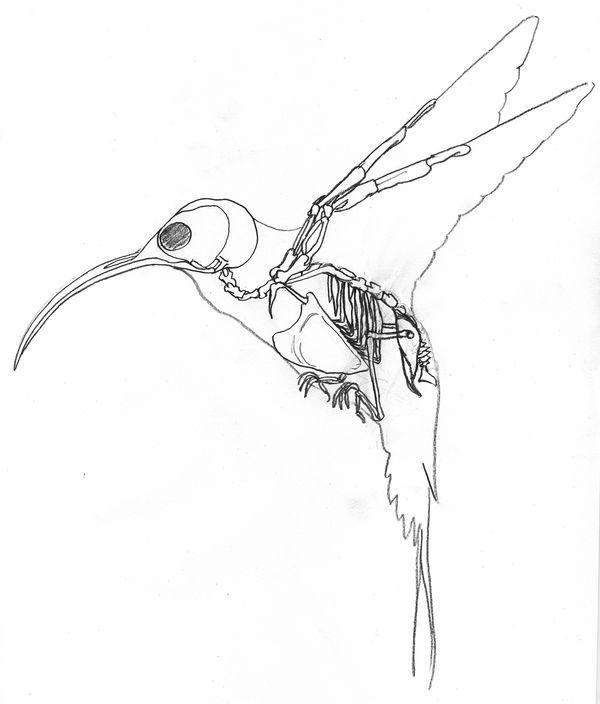 humming bird skeleton - Google Search