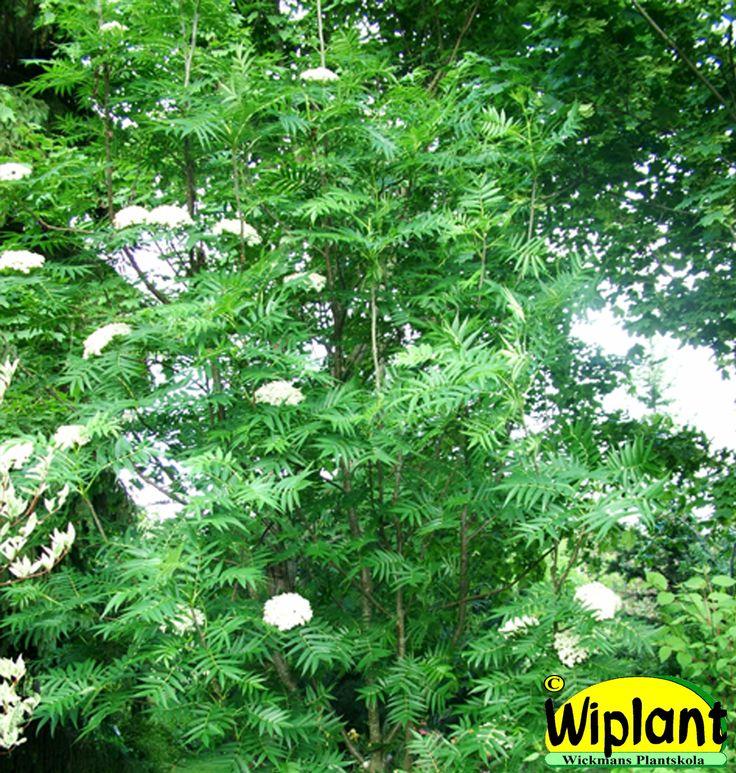 Sorbus 'Dodong', Ullungrönn. Ljusgröna blad, vacker höstfärg. Höjd: 4-10 m.