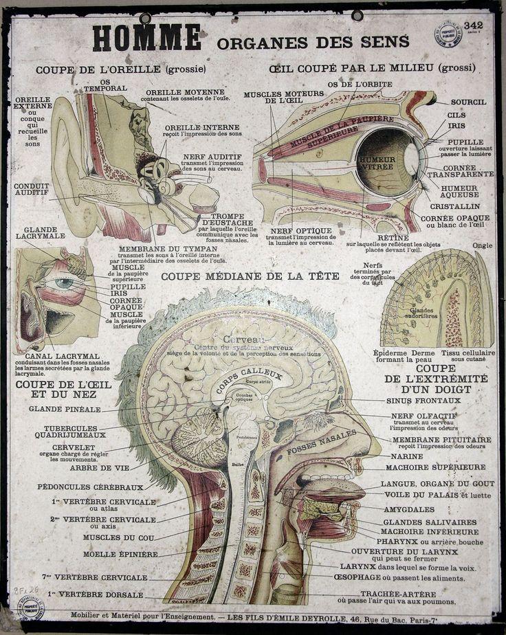 French anatomy