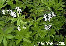 Maitrank of maiwein maken met Asperula odorata - lievevrouwebedstro - Gallium odorata