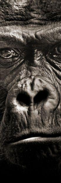 King Kong: Virtual Predator: Western Lowland Gorilla (Gorilla g. gorilla), Basel Zoo © Sebastien Meys