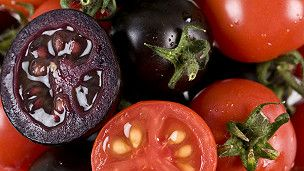 """El tomate morado, un nuevo """"superalimento"""" modificado - BBC Mundo - Noticias"""