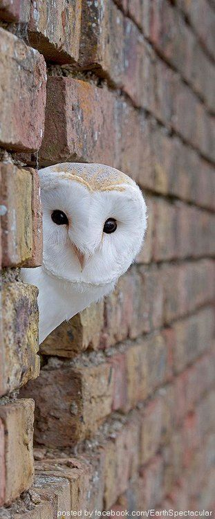 Barn Owl - Photograph by James Boardman- Wo**.