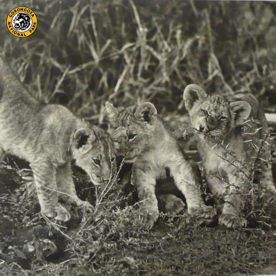 Throwback Thursday:    The lion cubs in this photo from the '60's or '70's could be the ancestors of the gorgeous lions we have in Gorongosa today. It's obvious where they got their good looks from!    Thanks to Clem Haagner for this photo!