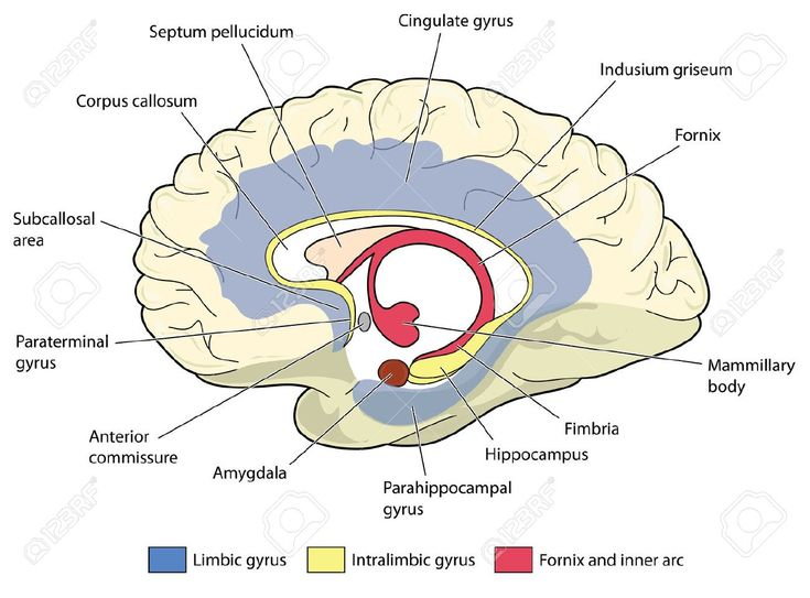 Image result for the brain diagram psychology | Limbic ...