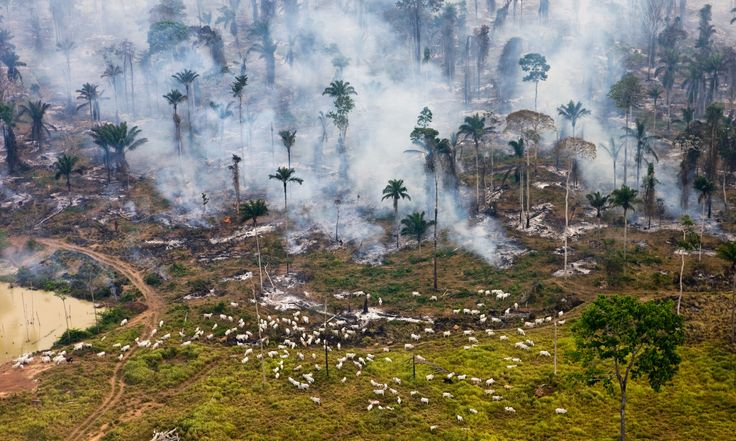 Cows and smoke Ground zero in the war on nature – cattle graze among the burning Amazon jungle in Brazil  Photograph: Daniel Beltra
