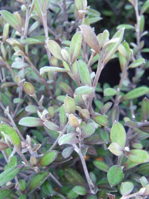 Corokia x virgata 'Frosted Chocolate' - The Native Plant Centre