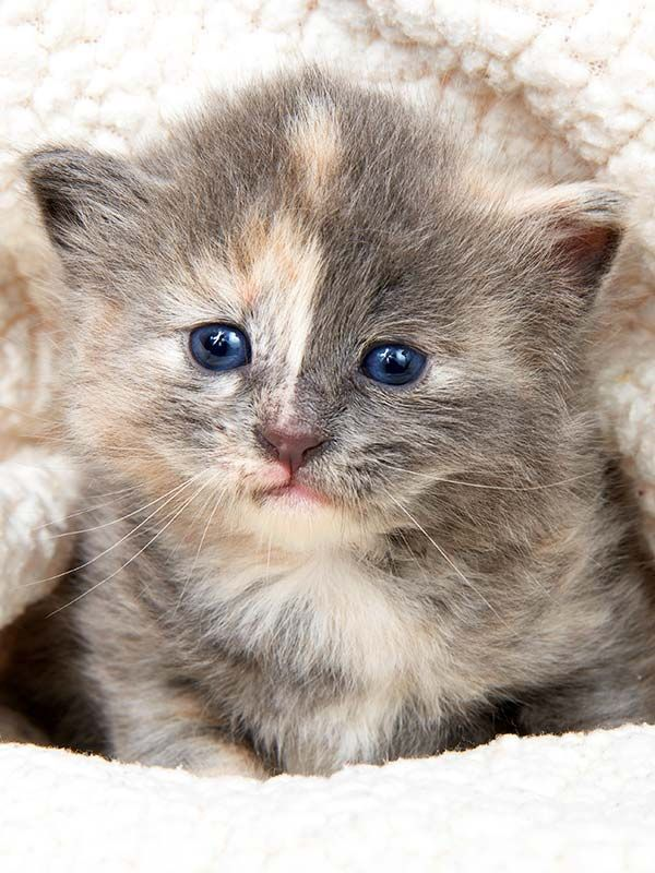 Dilute Tortie Unravelling A Magical Coat Color Tortie Kitten Cats Cute Little Animals