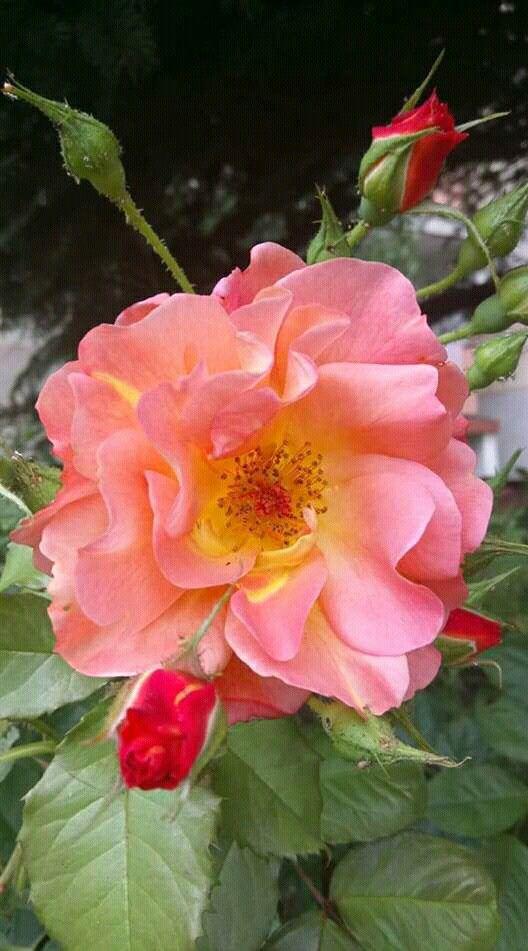 Beautiful open, shrub-type rose