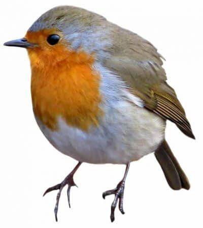 Le rouge gorge est un petit oiseau très utile pour le jardinier. Il est également très agréable à espionner et à écouter. Accueillez-le dans votre jardin !