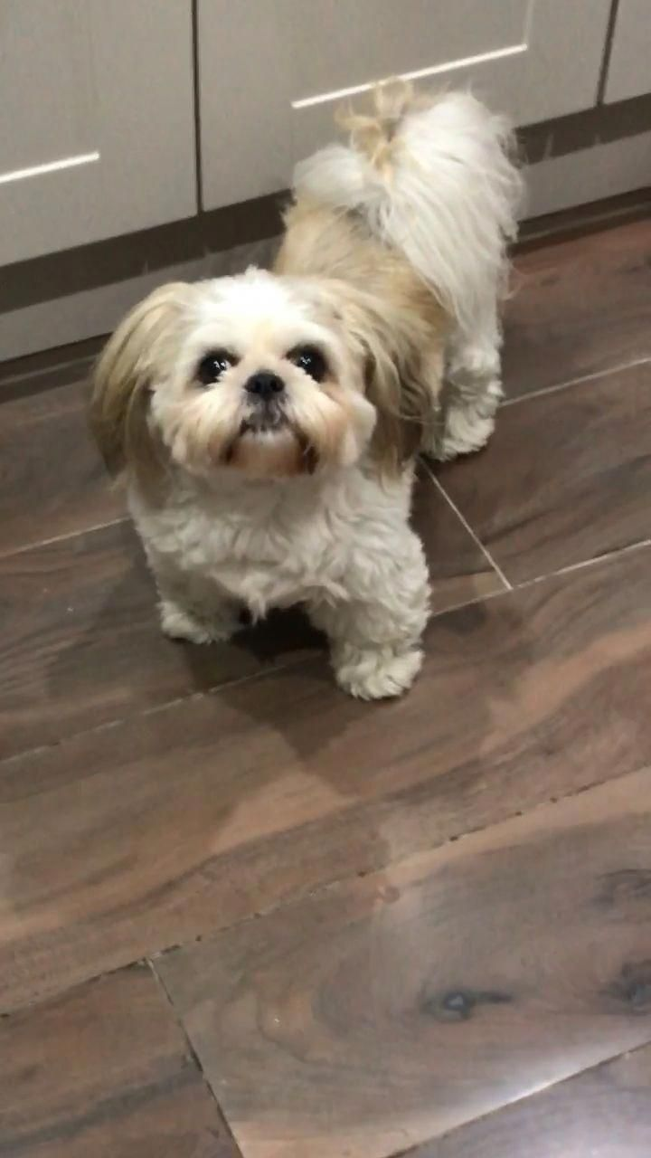 Obtain Fantastic Suggestions On Shizu Pup They Are Actually Offered For You On Our Internet Site Shih Tzu Dog Shitzu Dogs Shih Tzu Grooming