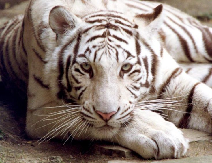 Animal Bengal Tiger | Tiger Wallpapers and Tiger Backgrounds 5 of 9