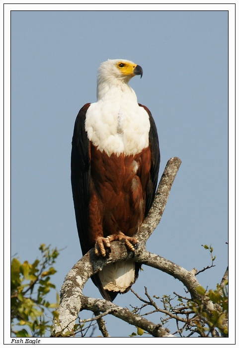 The African Fish Eagle (Haliaeetus vocifer) or – to distinguish it from the true fish eagles (Ichthyophaga), the African Sea Eagle – is a large species of eagle that is found throughout sub-Saharan Africa wherever large bodies of open water occur that have an abundant food supply. It is the national bird of Zimbabwe and Zambia.