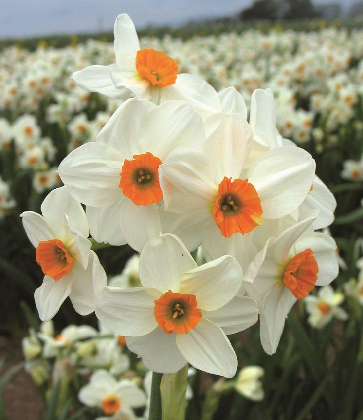 Geranium Tazetta Narcissi , image courtesy of our friends at Fentongollan Farm