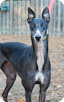 Cherry Hill, NJ - Greyhound. Meet Kay Place ' Patty Cakes', a dog for adoption. http://www.adoptapet.com/pet/16973704-cherry-hill-new-jersey-greyhound