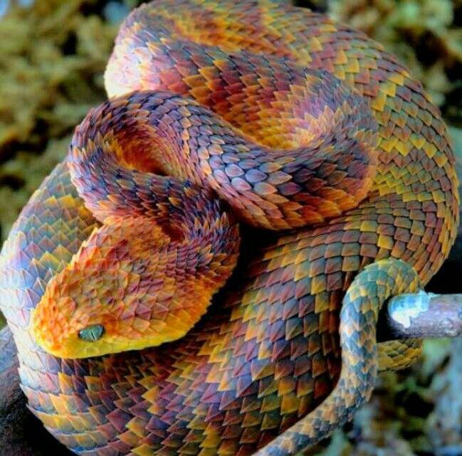 Bush viper - Striking scale pattern; color scheme would be an interesting glaze…