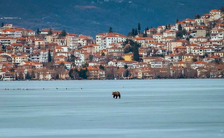 Rare scene!  A #bear walking on the frozen #lake of Kastoria #Macedonia #greece. during #winter